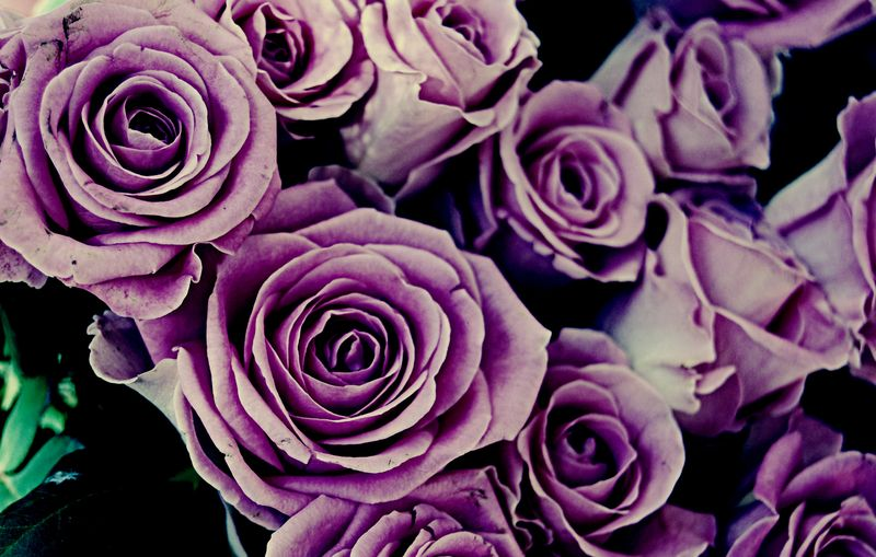 Roses by mire 2